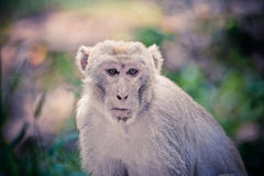 Monkey Wildlife Royalty Free Stock Images