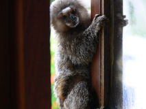 Monkey in window Stock Photos