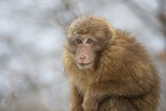 Monkey in winter Royalty Free Stock Images
