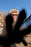 Monkey in Wintertime Royalty Free Stock Image