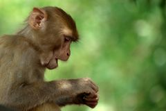 Monkey With A Green Background. Stock Photo