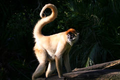 Monkey With Curly Tail Royalty Free Stock Photos