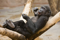 Monkey With Meal In Paws Stock Image