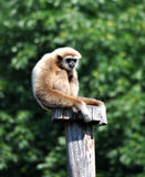 Monkey on a wooden stake, gibbon Royalty Free Stock Image