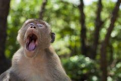 Monkey yawn. A monkey yawns in the forest sun stock photo