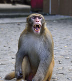 Monkey is Yawning Royalty Free Stock Photos