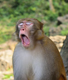 A Monkey is Yawning. The monkey gave a big yawn Royalty Free Stock Images