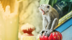 Monkey yawning Royalty Free Stock Images