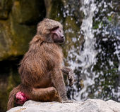 Monkey Year Stock Photography