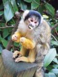 Monkey. Yellow monkey eats chips on the wood Stock Photo