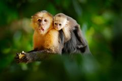 Monkey with young. Black monkey hidden in the tree branch in the dark tropical forest. White-headed Capuchin, feeding fruits. royalty free stock images