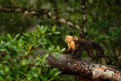 Monkey with young. Black monkey walking on the tree branch in the dark tropic forest. Monkey White-headed Capuchin, Cebus capucinu Royalty Free Stock Image
