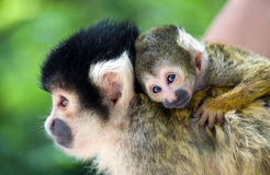 Monkey young with mother. Beautiful shot of a monkey young on the back of his mother stock photography
