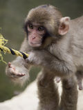 Monkey. A young snow monkey playing Royalty Free Stock Photo