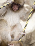 Monkey. A young snow monkey playing Stock Image