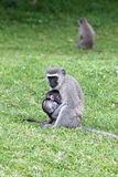 Monkey with young Royalty Free Stock Photos