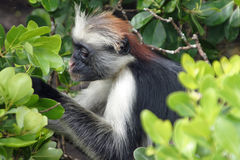 Monkey at Zanzibar Royalty Free Stock Photo