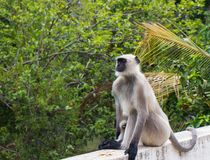 A monkey in zen mode. A langur in the zen mode taking in the fresh air of countryside while meditating stock photography