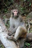 Monkey in Zhangjiajie National Geological Park Royalty Free Stock Image