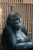 Monkey at the zoo royalty free stock photo