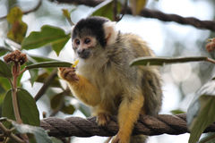 Monkey Zoo. A monkey having a snack at the London Zoo, ZSL Royalty Free Stock Photos
