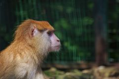 Monkey in a zoo Royalty Free Stock Images