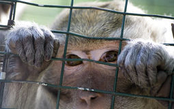 Monkey in a Zoo Royalty Free Stock Photos