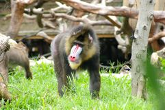 Monkey. The  monkey in the zoo Stock Photos