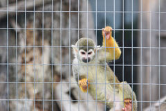 Monkey in zoo. A monkey in the zoo Stock Photos