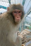Monkey in a zoo. A monkey in a zoo looking sadly Stock Images