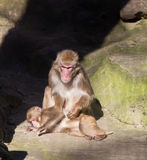 Monkey zoo Africa mammal animal Stock Images
