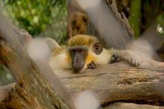 Monkey in zoo, Bangkok Thailand. Sleeping monkey on the wood, in safari world zoo Bangkok Thailand Royalty Free Stock Photography