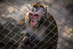 Monkey in zoo behind a metal fence. Caged monkey in zoo sitting sad in a metal cage with hand holding the fence stock photos