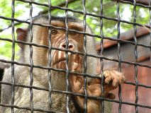 A monkey in a zoo. Monkey in a cage at the zoo Royalty Free Stock Photos