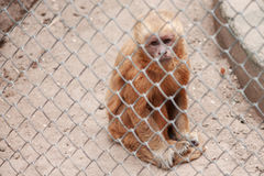 Monkey in zoo cage with sad expression Stock Image