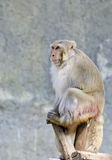 Monkey in the zoo Stock Photography