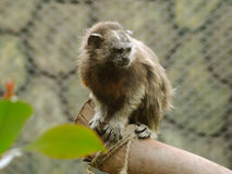 Monkey in the zoo. Columbian monkey in the zoo Royalty Free Stock Image