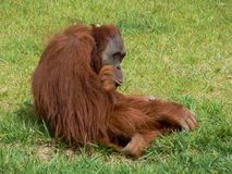 Monkey in a zoo. Furry monkey in a zoo Stock Photos