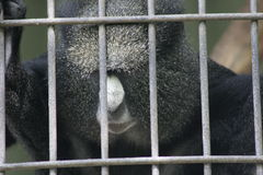 Monkey at the zoo looking sad Stock Photography