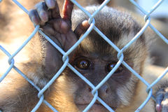 Monkey at the zoo. Nature zoo monkey cage captivity mammal fauna grille primate eyes view Africa trip exotic portrait fingers Stock Photo