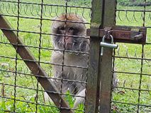 monkey. zoo sadness. pain. animal Royalty Free Stock Photos