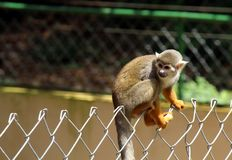 A monkey in the zoo of Salvador, Bahia, Brazil royalty free stock photos