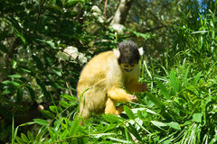 Monkey2 Royalty Free Stock Photos