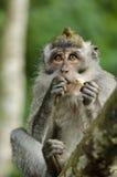 MonkeyBali1. Young monkey in monkey forest in Ubud on Bali Stock Photos