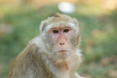 Monkeyface Royalty Free Stock Photo