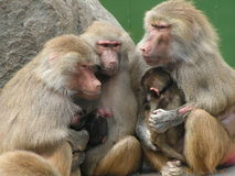 monkeyfamily Arkivbilder