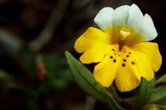 Monkeyflower amarillo y blanco Imágenes de archivo libres de regalías