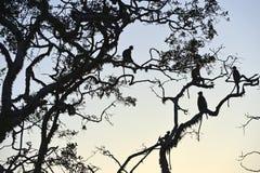 Monkeyin die untergehende Sonne im Dschungel Lizenzfreie Stockfotografie