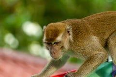 Monkeyis der wild lebenden Tiere gerichtet auf etwas Lizenzfreie Stockfotos