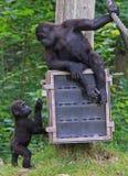 Monkeymom met zijn kind Stock Afbeeldingen
